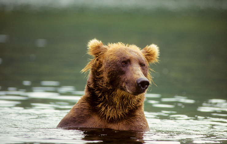 Aunt Melissa, one of the bears featured in Timothy Treadwell's footage that is part of Werner Herzog's <em>Grizzly Man</em>. Photo: Timothy Treadwell. Courtesy of Discovery Channel