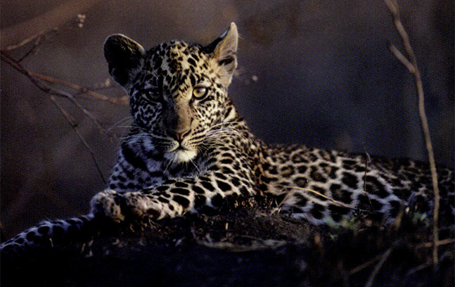 A young leopard photographed in the Serengeti, Tanzania, during filming on the 1991 production 'Sunlight and Shadow: The Dappled Cats for Survival Anglia.' Photo by Mark Deeble and Victoria Stone.