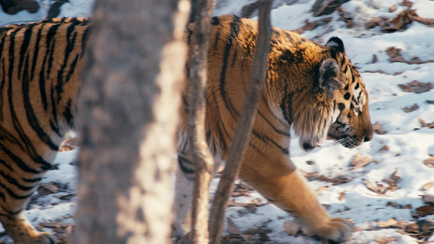 "From Ross Kauffman's ""Tigerland,"" which airs March 30 on Discovery Channel. Courtesy of Discovery Channel"