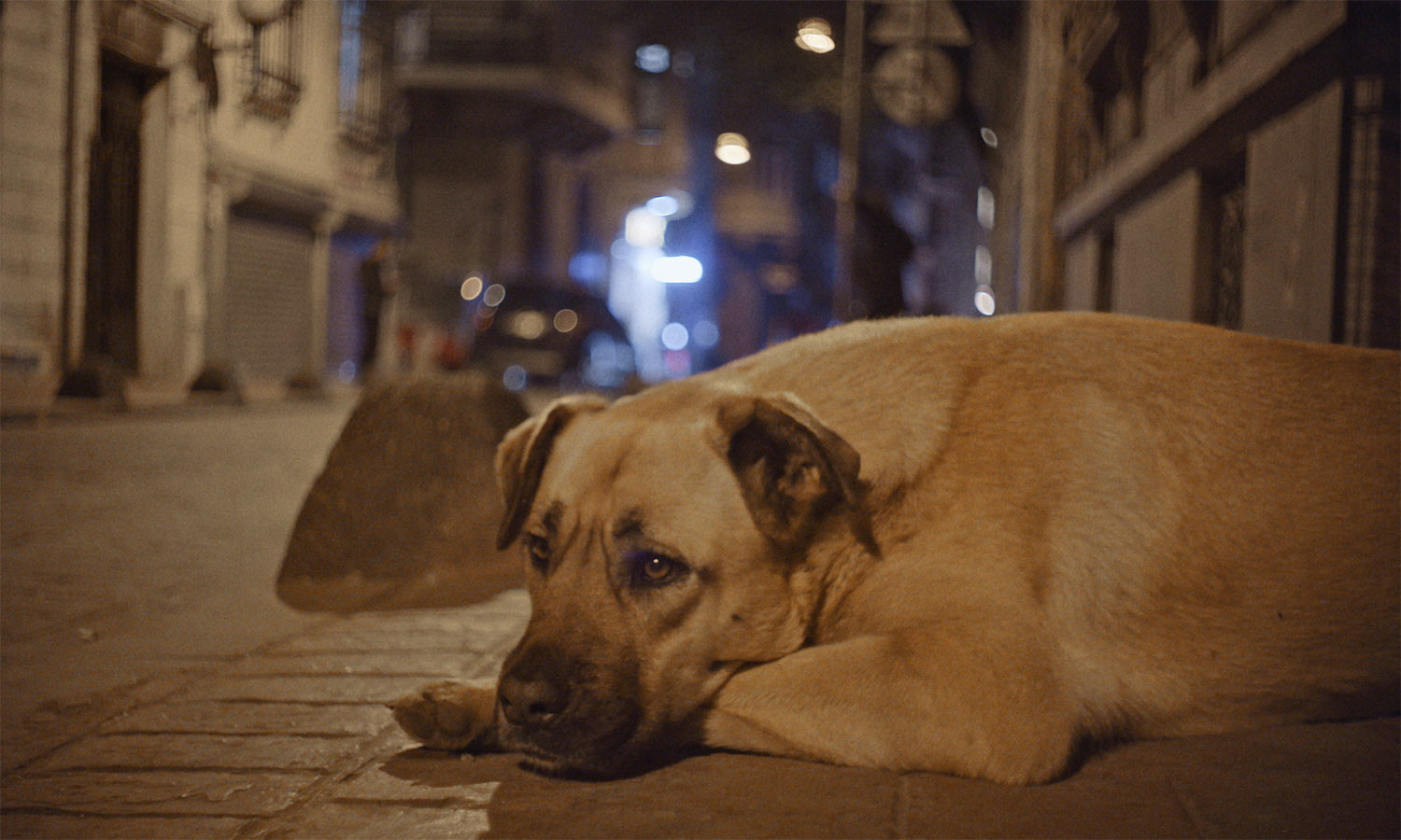 Zeytin, one of the dogs in Elizabeth Lo's 'Stray.' is lost in thought after a fight. Courtesy of Magnolia Pictures and Elizabeth Lo
