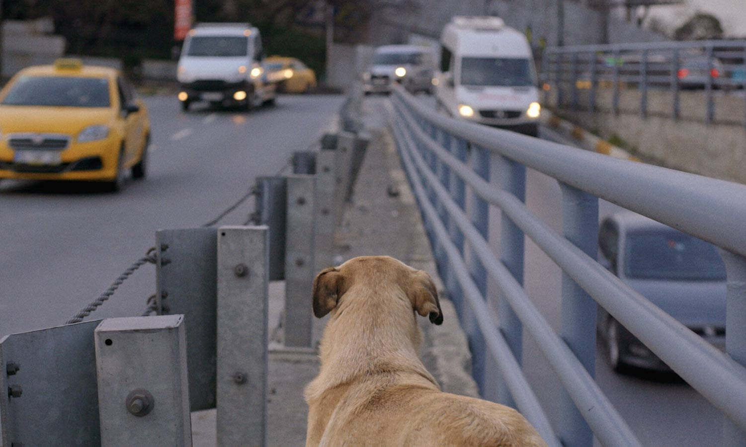 From Elizabeth Lo's 'Stray.' Courtesy of Magnolia Pictures. Zaylin, one of the dogs featured in Elizabeth Lo's 'Stray,' sits in the meridian of an Istanbul boulevard watching the cars pass by.