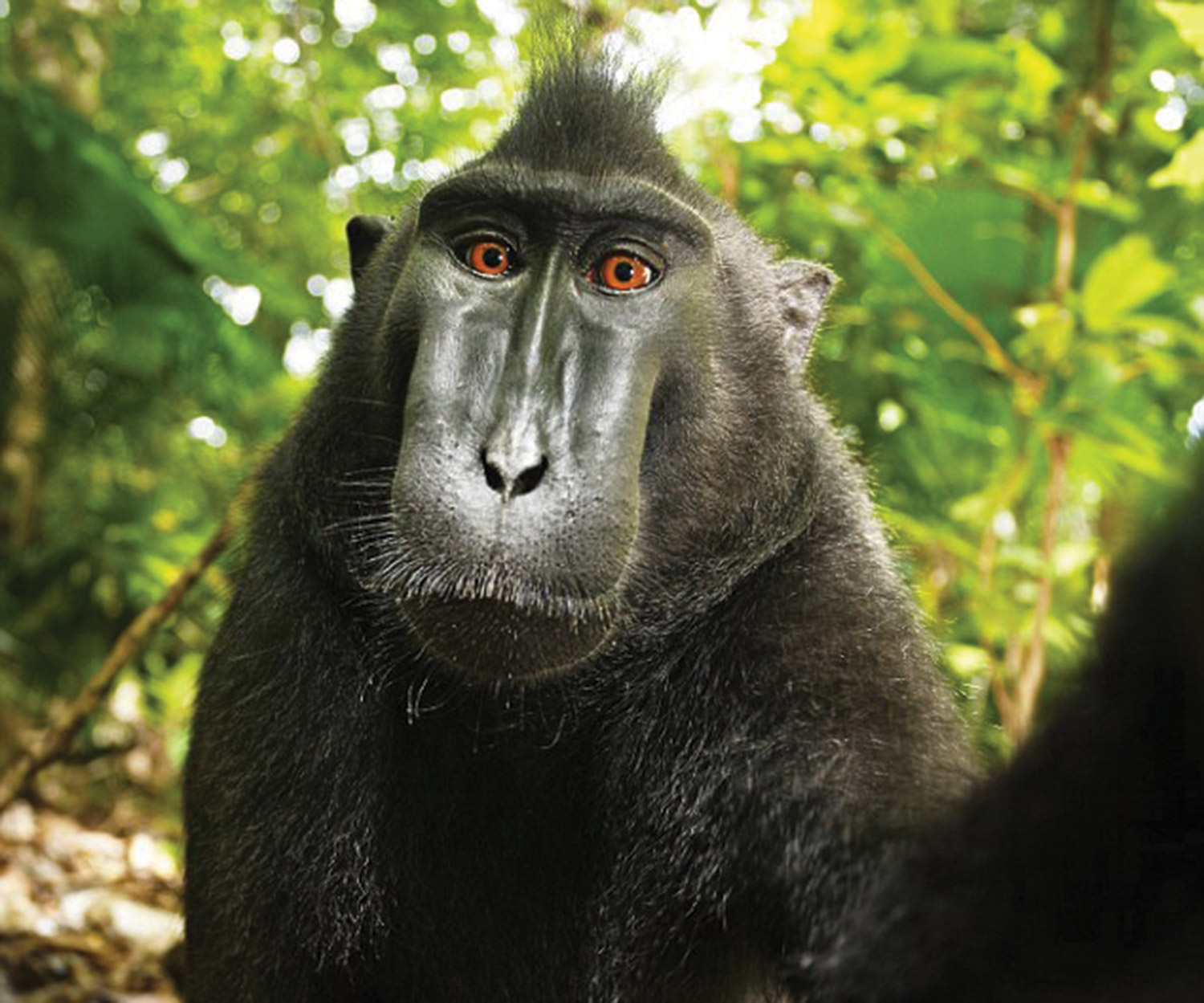 A selfie taken by macaque monkey in Indonesia. Wikimedia, the US Copyright Office and the Ninth Circuit all asserted that images created by animals fall into public domain. Courtesy of Wikimedia Commons.