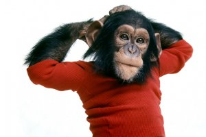 Nim Chimpsky is a chimpanzee wearing a knitted red top. Nim has his arms raised with hands behind his head.