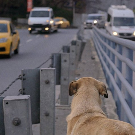 Zaylin, one of the dogs featured in Elizabeth Lo's 'Stray,' sits in the meridian of an Istanbul boulevard watching the cars pass by.