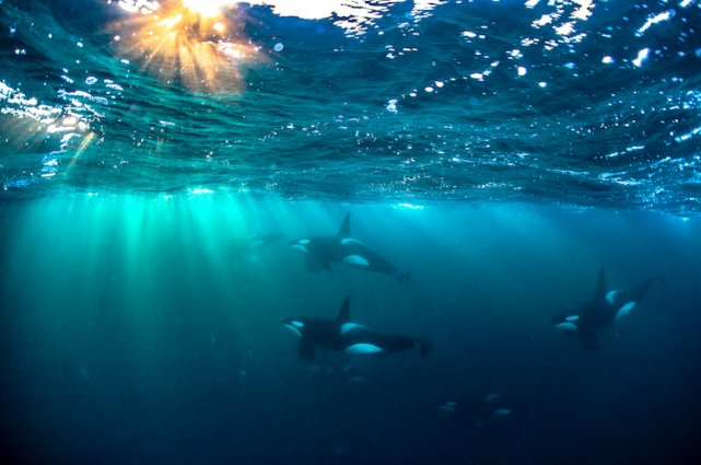 Group of killer whales are swimming under the sea.