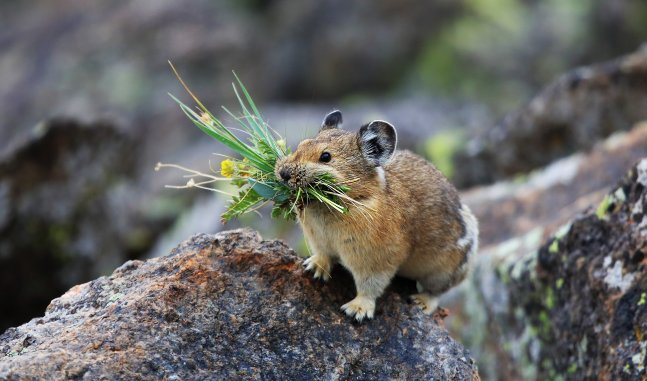 A small Pika (rare forest mammal) holds some greens in its mouth as it stands on the trunk of a large tree.