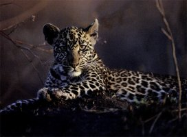 A young leopard photographed in the Serengeti, Tanzania. It's sitting down with both legs in front, staring at the camera.