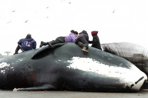 a group of Native Alaskan children sit on top a caught bowhead whale