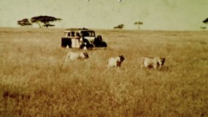 A station wagon drives slowly through the African grasslands, a few lions walk in front of the car.