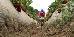 A migrant farm woman bends over a cart of strawberries as she harvests this fruit from a large field