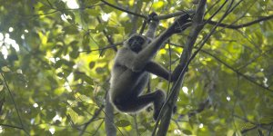 A gibbon monkey climbs the skinny branch of a tree below a canopy of green leaves.